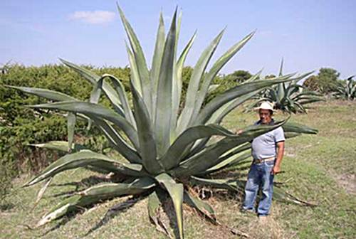 miel de maguey beneficios